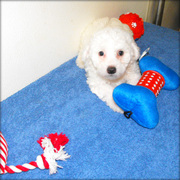 Bichon Frise Puppies For Adoption.