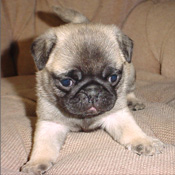Sweet and friendly Pug puppy raised in our home needed a new family