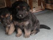 6 Beautiful German Shepherd Puppies For Sale